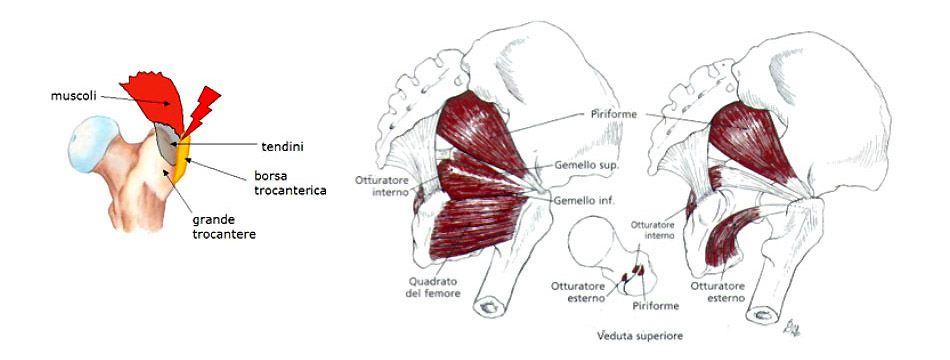 Anatomia muscolare trocantere
